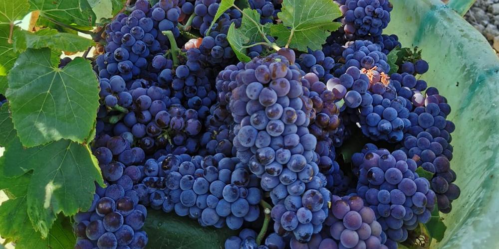 vendemmia 2019 in Sicilia, si inizia a Menfi dal Pinot Grigio