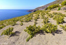 Fabio Gambina© alberello Pantelleria Donnafugata