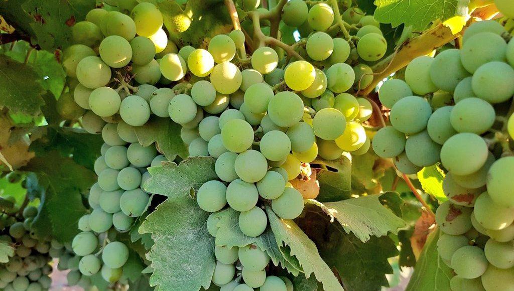 Grillo, il vitigno e le sue origini - Wine in Sicily