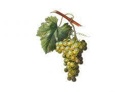 vitigni di Sicilia, grappolo bianco