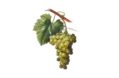 vitigni di Sicilia
