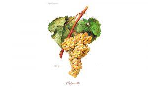 Catarratto bianco vitigno Sicilia